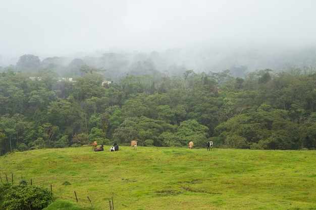 Dairy caws grazing and resting on green grass in costa rica