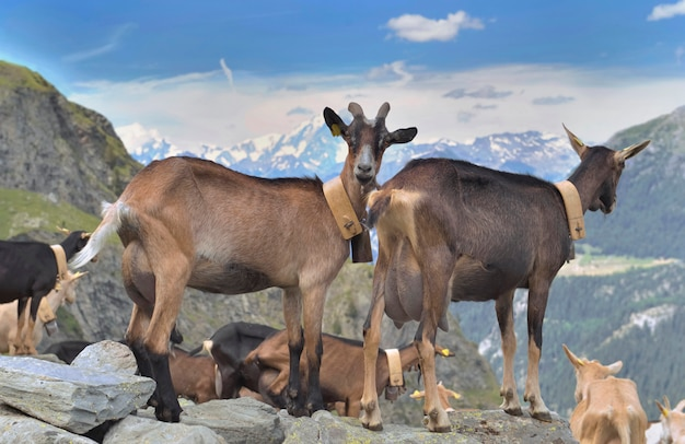 Dairy goats standing on the rock in alpine mountain