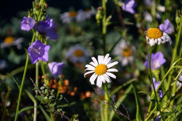 화창한 초원에 데이지와 보라색 꽃