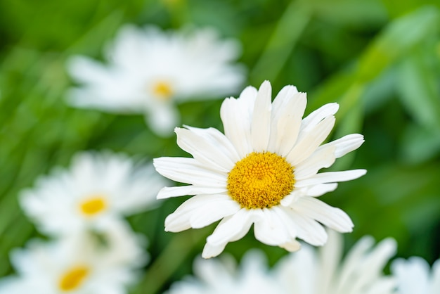 Daisies bloom on the flowerbed in the summer. mid of chamomile is yellow