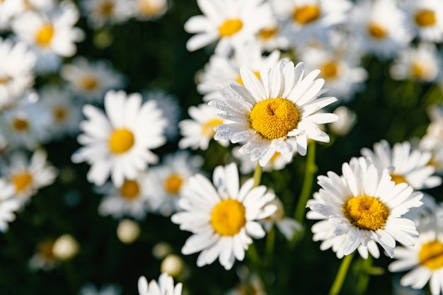 Daisies. chamomile. many flowers with white petals.