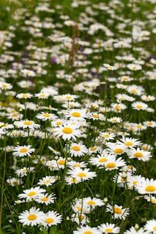 デイジー-春(夏)の季節に畑で成長するデイジー