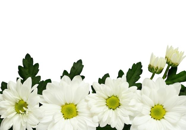 데이지 가장자리 흰색 절연 프리미엄 사진
