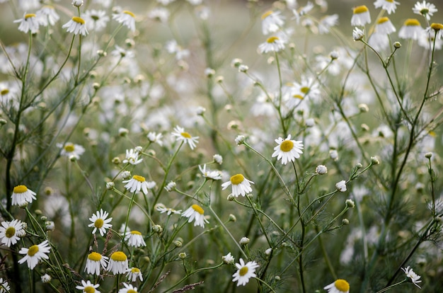 Daisies in a green field, blurred summer floral background.