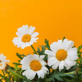 Daisies group