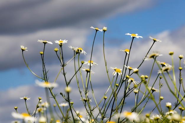 畑で育つヒナギク
