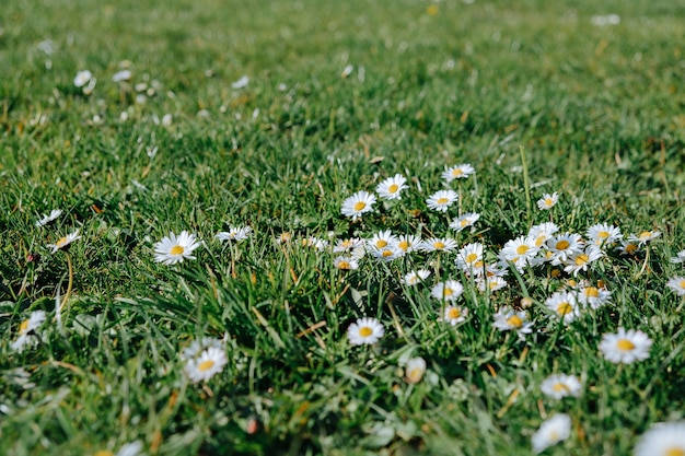 草の中のデイジー