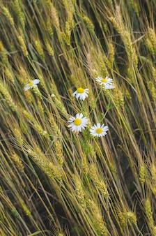 夏の麦畑のヒナギク