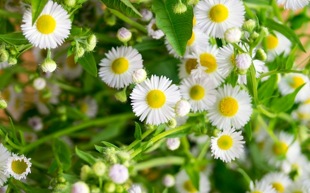 Daisies. little white flowers.