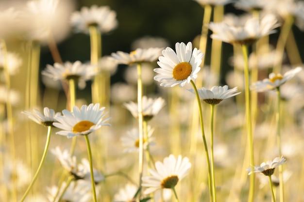 夜明けの春の牧草地のヒナギク