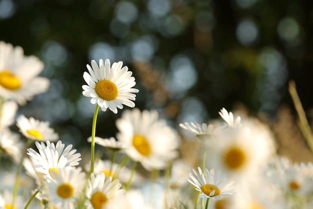日の出の春の牧草地のヒナギク