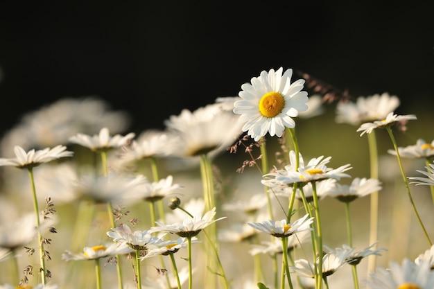春の朝のヒナギク