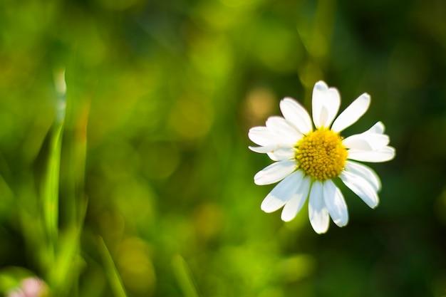 フィールド上のデイジー、草や花の花の頭、ボケ味とぼかしの焦点の背景。自然の背景。自然界の緑と黄色の色。