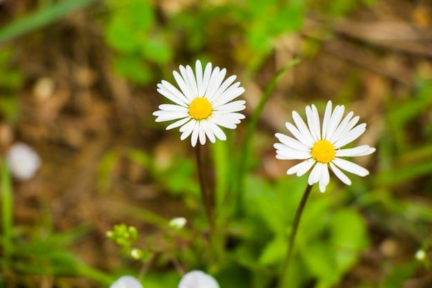 Ромашки на поле, трава и цветущая головка цветка