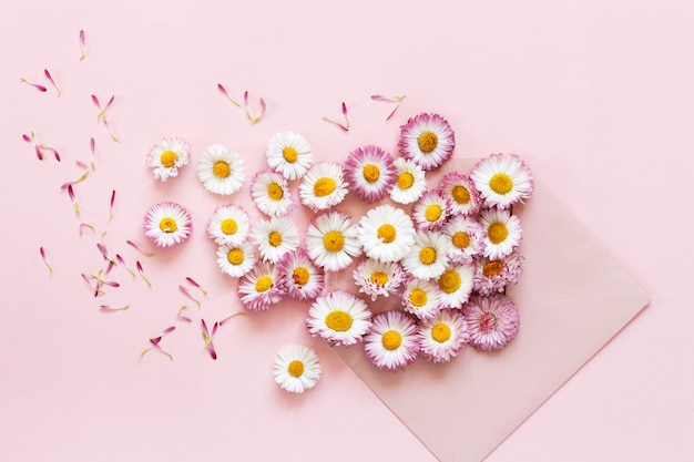 Daisies in pink envelope on  pink paper background. top view, close-up
