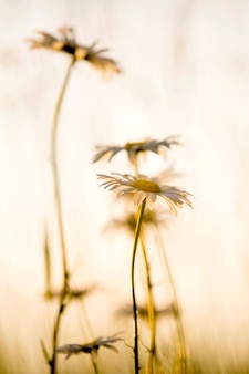 Daisies in silhouette