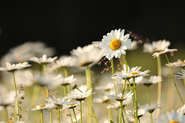 Daisies on a spring morning