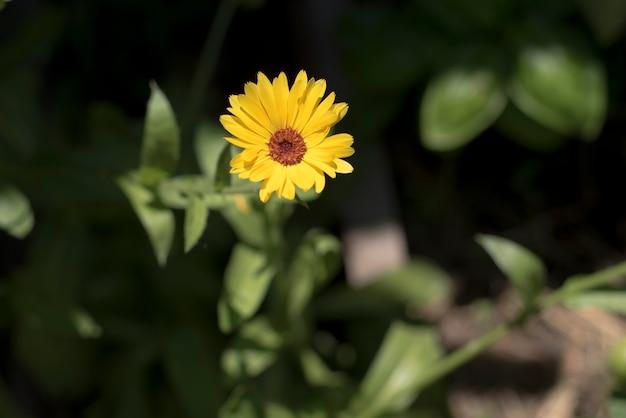 庭のデイジー黄色い花