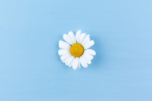 Daisy on blue surface. minimal concept of spring
