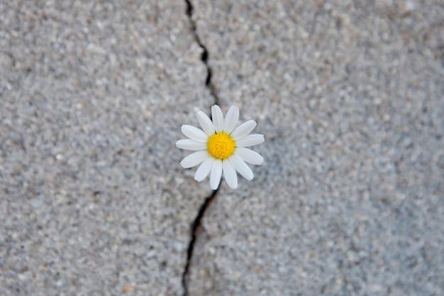 Daisy born from a crack in the asphalt