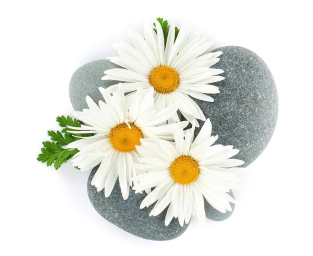 Цветок ромашки ромашки и морские камни. изолированные на белом фоне