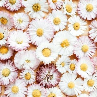 デイジーカモミールの花のつぼみ