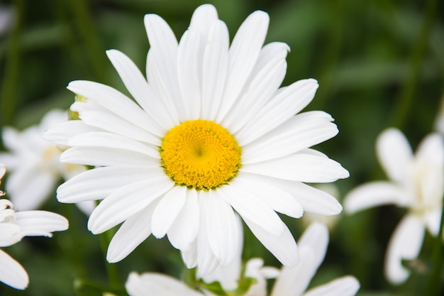 Daisy close-up on a green background. chamomile flowers on a beautiful summer day.