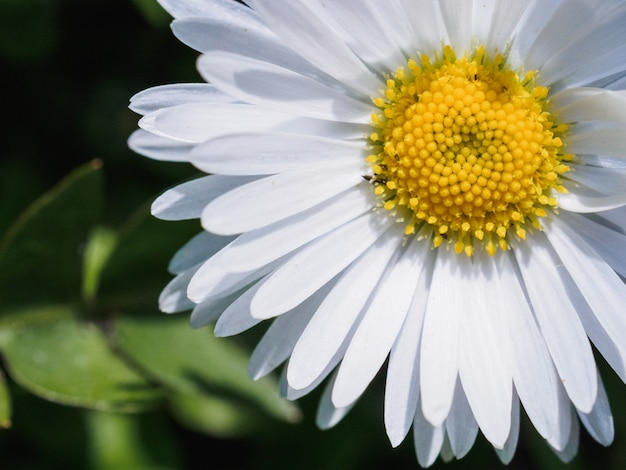 Daisy flower close up. view from above