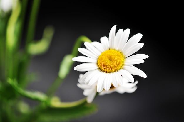 Daisy flower on a dark