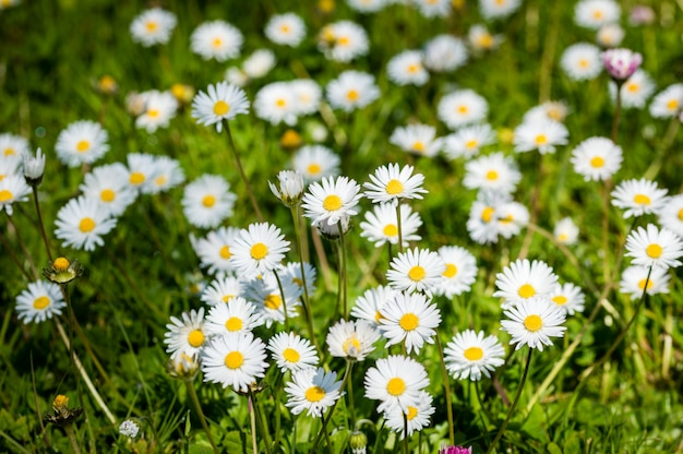 Daisy flower on green meadow selective dof