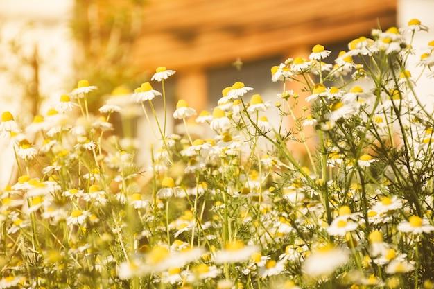 풀밭에 성장하는 데이지 꽃