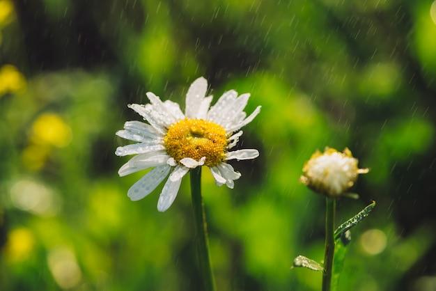 빗 속에서 데이지 꽃