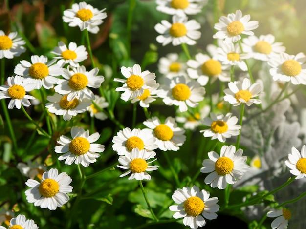 フィールドにデイジーの花をクローズアップ