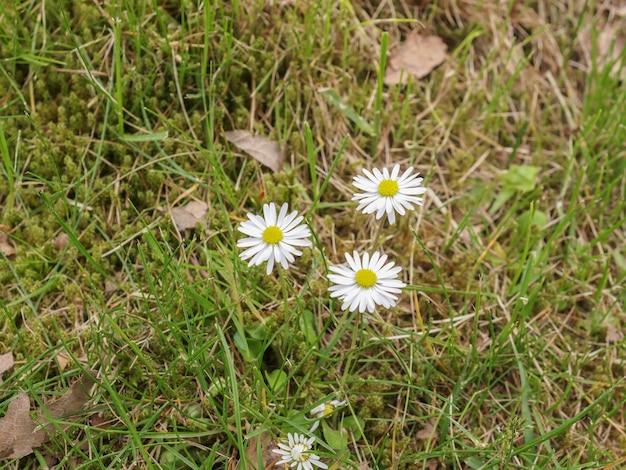 잔디에 데이지 꽃