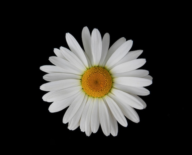 黒の背景にデイジーの花