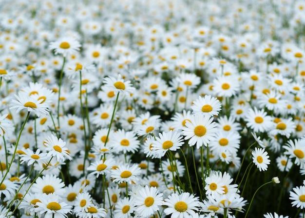 緑の牧草地のデイジーの花11