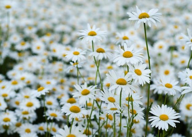 緑の牧草地のデイジーの花12