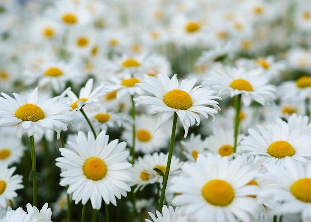 緑の牧草地のデイジーの花14