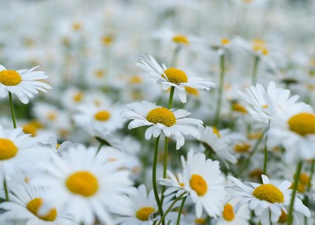 Цветок ромашки на зеленом лугу 9
