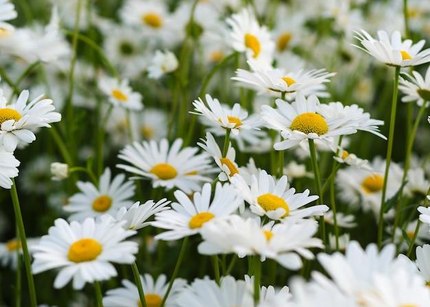 緑の牧草地にデイジーの花