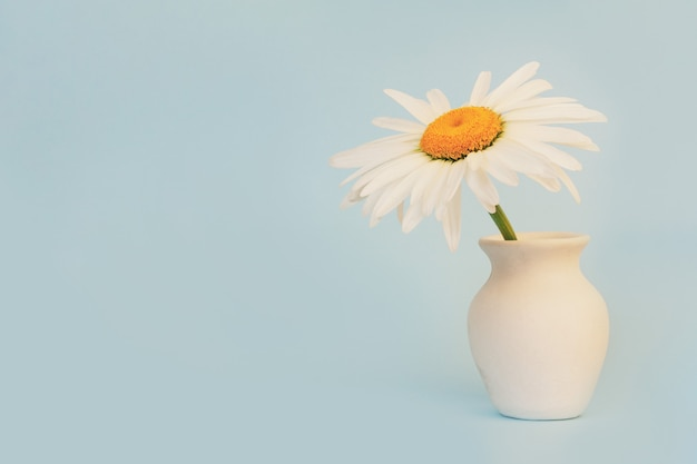 Daisy flower in a white jug on a blue background with a copy space close-up