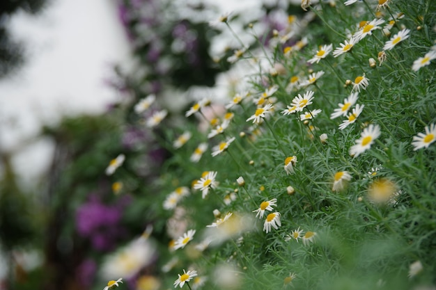 Daisy flower поле естественного фона размытое и мягкое фокус