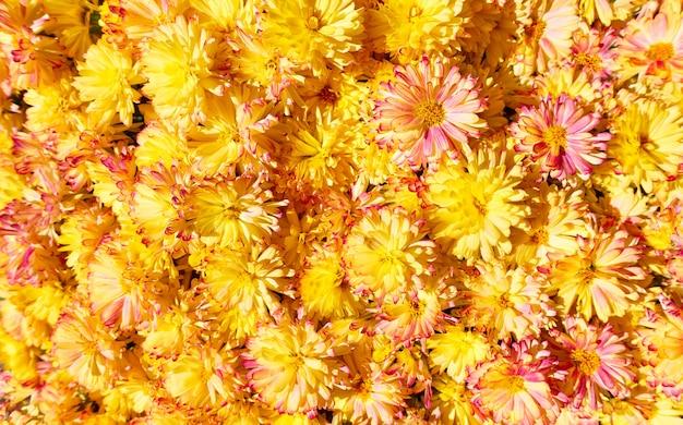 Цветы ромашки. яркий цветочный фон с желтыми ромашками