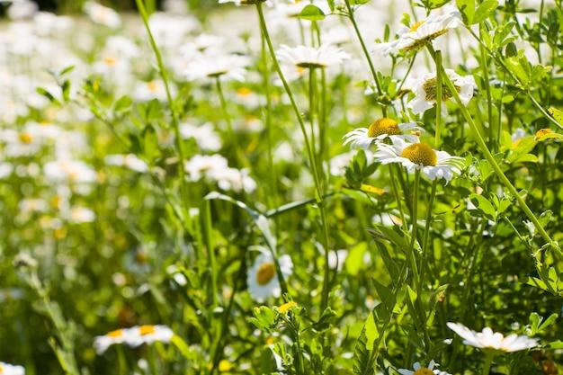 Поле цветов ромашки, большая группа ромашек, дневной свет и на открытом воздухе