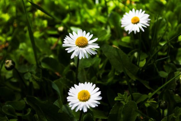 Макрос и крупный план головы цветов ромашки в грузии. природа и размытие поверхности. боке.