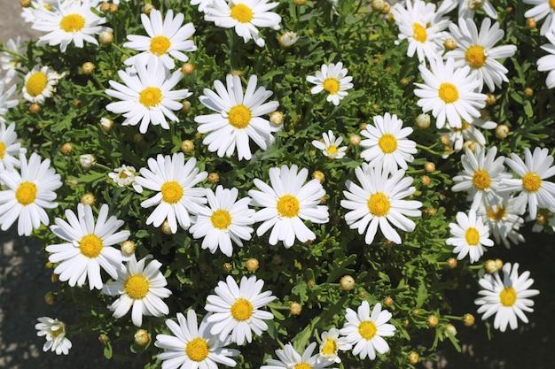黄色の白い庭のデイジーの花