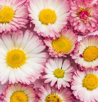 Daisy flowers pattern on a white background.