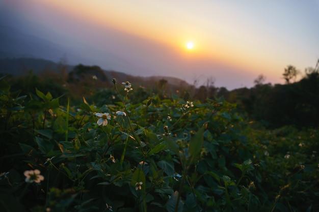 Daisy flowers at sunrise