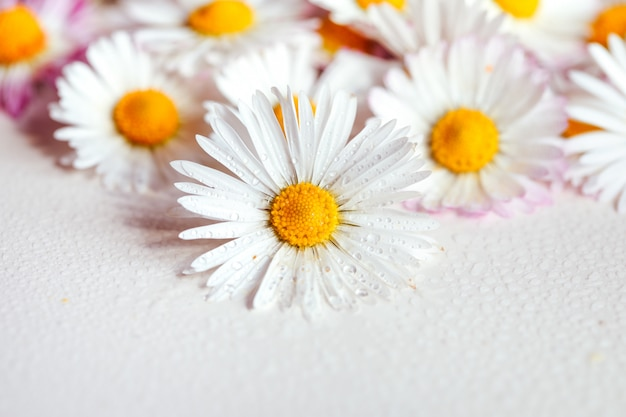 Daisy flowers vintage color style for nature background