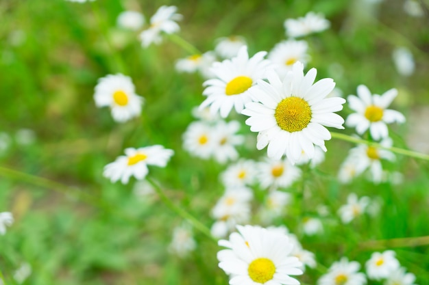Daisy fresh blooming flowers and green leaves